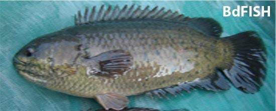 থাই কৈ মাছ