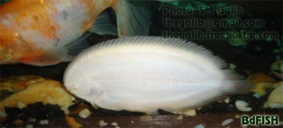 চিত্র: একুয়ারিয়ামের কাচে লেগে থাকা বাংলাদেশী মাছ 'পাতা' বা 'জিহবা'।