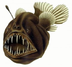 Humpback anglerfish, Melanocetus johnsonii