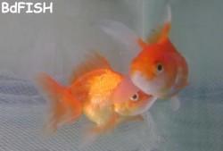 পুরুষ ও স্ত্রী মাছ সনাক্তকরণ: পুরুষ মাছ স্ত্রী মাছকে তাড়া করছে।