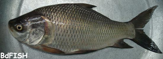 চাষকৃত দেশী মাছ: কাতলা