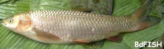 চাষকৃত বিদেশী মাছ: গ্রাস কার্প