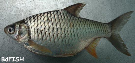 চাষকৃত বিদেশী মাছ: থাই স্বরপুটি বা থাই রাজপুটি
