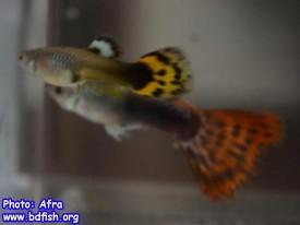 স্ত্রী গাপ্পির (উপরের মাছটি) জেনিটাল ওপেনিং এর কাছে অর্থাৎ এনাল ফিনের সামনে একটি কালো দাগ দেখতে পাওয়া যায়