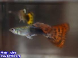 পুরুষ গাপ্পির (নিচের মাছটি) জেনিটাল অর্গান দেখতে পাওয়া যায় যা এনাল ফিনের রূপান্তর