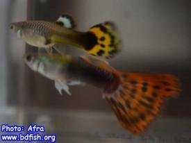 প্রাপ্তবয়স্ক পুরুষ ও স্ত্রী গাপ্পি মাছ