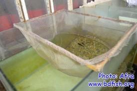 প্রজনন একুয়ারিয়ামে স্থাপিত একটি ব্রিডিং নেট