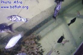 বিভিন্ন ভ্যারাইটির মলি মাছ