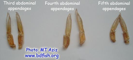 চিংড়ির উদরীয় উপাঙ্গ: ৩য়, ৪র্থ ও ৫ম (Abdomeinal Appendage: Third, Fourth and Fifth)
