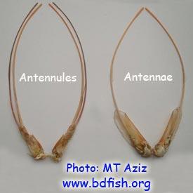 চিংড়ির শির-উপাঙ্গ: অ্যান্টিনিউল (Antennule) এবং অ্যান্টিনা (Antenna)