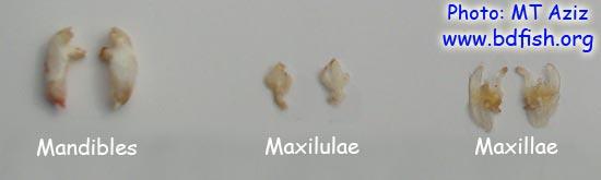 চিংড়ির শির-উপাঙ্গ: ম্যান্ডিবল (Mandible),  ম্যাক্সিলুলা (Maxilula) এবং ম্যাক্সিলা (Maxilla)