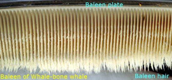 ব্যালিন প্লেট (Baleen Plate) থেকে ঝুলে থাকা ব্যালিন চুল (Baleen Hair)