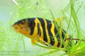 কাঁচের এ্যাকুয়ারিয়ামে বউ বা রাণী মাছ [Bengal loach: Botia-dario]