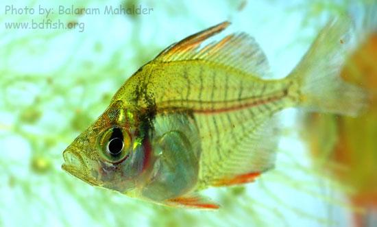 লাল চান্দা, রাঙ্গা চান্দা, চাঁদা [Indian glassy fish: parambassis-ranga]