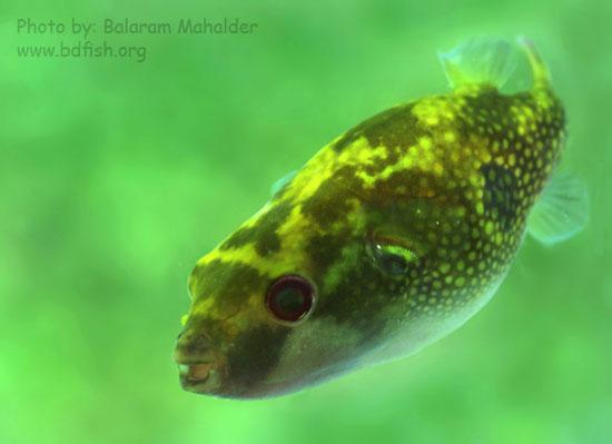 পটকা মাছ [Puffer fish: Tetraodon cutcutia]
