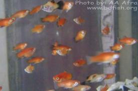 দুই মাস বয়সী প্লাটি মাছ