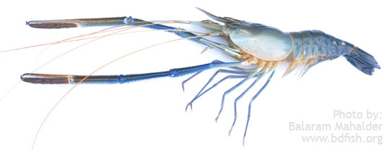 Giant River Prawn (Macrobrachium rosenbergii)