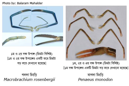 গলদা ও বাগদা চিংড়ির চিমটা (Pincer) বিশিষ্ট বক্ষ উপাঙ্গ