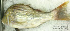 সেহেরী মাছ, Spangled emperor fish, Lethrinus nebulosus