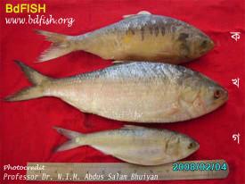 বাংলাদেশের জাতীয় মাছ ইলিশ