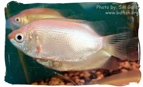 কিসিং গোউরামি, Kissing Gourami, Helostoma temminkii