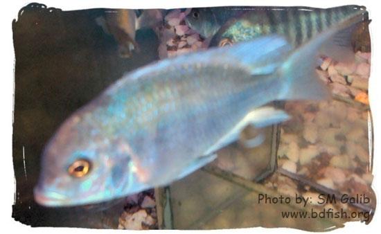 নীল ডলফিন সিচলিড, Blue Dolphin Cichlid, Cyrtocara moorii
