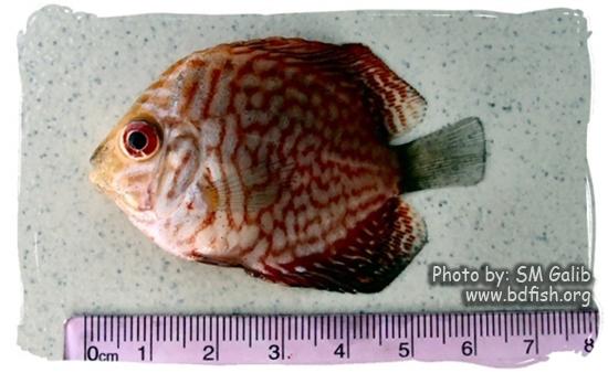 ডিসকাস, Discus, Symphysodon discus, red turquoise