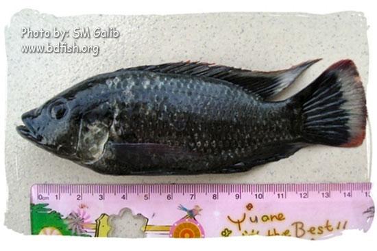 তেলাপিয়া, Tilapia, Oreochromis mossambicus (male)