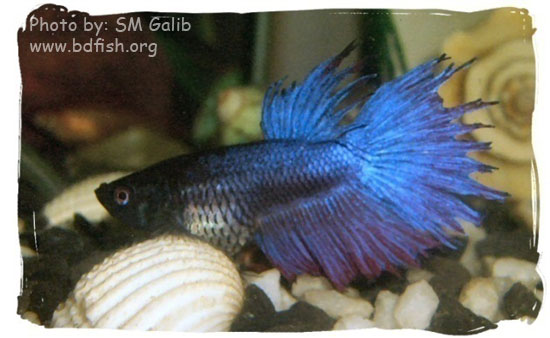 Siamese fighter, Betta splendens, Blue (male)