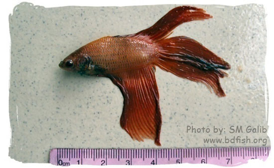 Siamese fighter, Betta splendens, Pink-Orange (male)