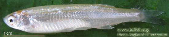 কাচকি, Corica soborna, Ganges river sprat