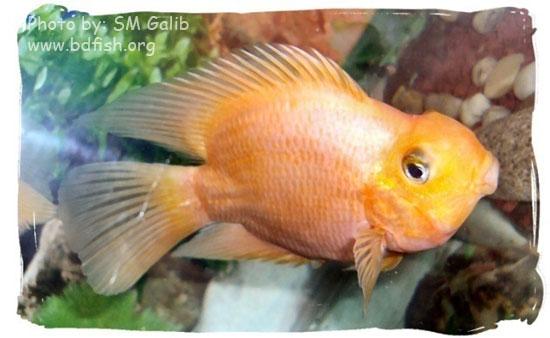 প্যারোট, Parrot, Cichlasoma citrinellum x Cichlasoma synspilum, Red variety