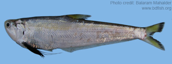 ফ্যাসা, Gangetic hairfin anchovy, Setipinna phasa