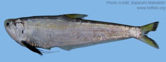 ফ্যাসা, Gangetic hairfin anchovy, Setipinna phasa