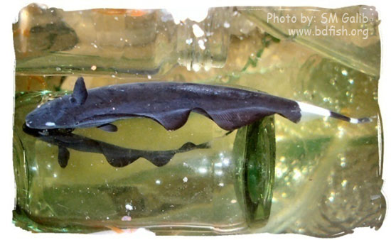 ব্ল্যাক গোস্ট নাইফ ফিশ, Black Ghost Knife Fish, Apteronotus albifrons