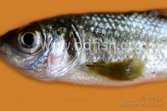 লার্নিয়া (Lernaea) আক্রান্ত মাছ