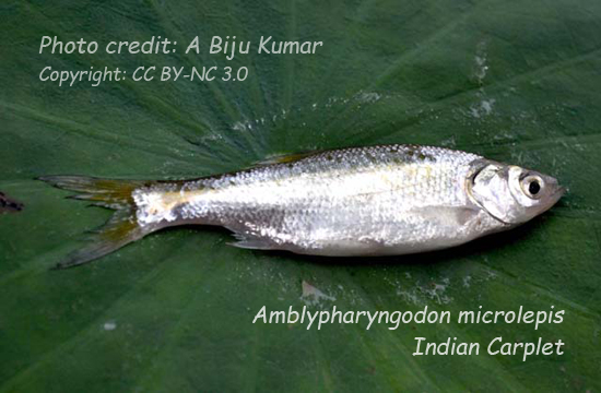 মলা, Indian Carplet, Amblypharyngodon microlepis