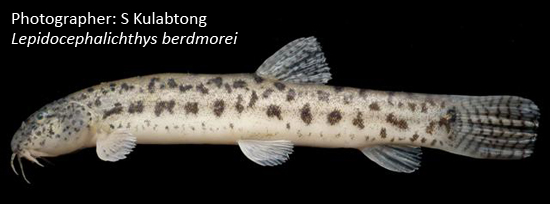 পুঁইয়া, Burmese loach, Lepidocephalichthys berdmorei