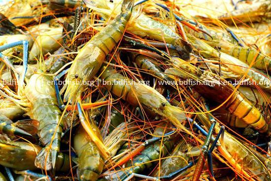 মিঠা পানির গলদা (Macrobrachium rosenbergii)