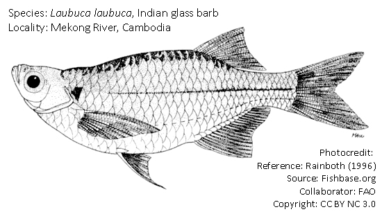 চাপ চেলা, Indian glass barb, Laubuca laubuca