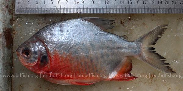 লাল পাকু, Red Pacu, Piaractus brachypomus