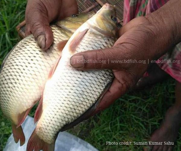 মৎস্য চাষির হাতে আহরণকৃত আমুর মাছ