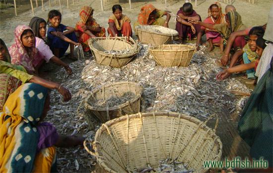 নাজিরারটেক শুঁটকি পল্লীতে চলছে মাছ বাছাইকরণ