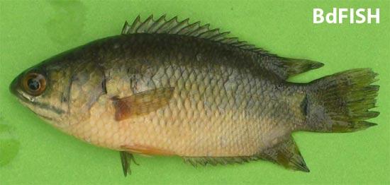 দেশী কৈ মাছ