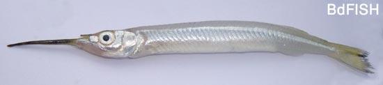বিলুপ্তপ্রায় মাছ এক থুইট্টা (Hyporhamphus limbatus)