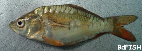 চাষকৃত বিদেশী মাছ: মিরর কার্প