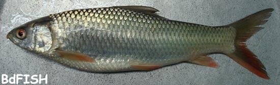 চাষকৃত দেশী মাছ: মৃগেল