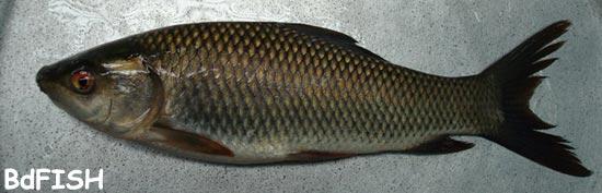 চাষকৃত দেশী মাছ: রুই