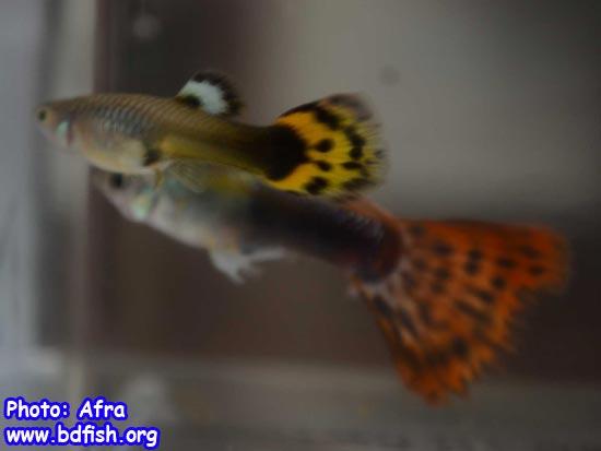 এ্যাকুয়ারিয়ামে গাপ্পি মাছের প্রজনন