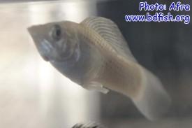 পুরুষ মলি মাছ: এনাল ফিন পরিবর্তিত হয়ে গোনোপোডিয়ামে পরিণত হয়েছে